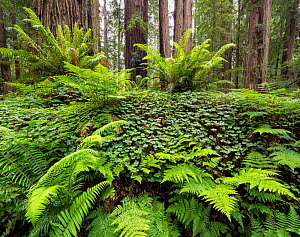 Bracken ferns and Sorrel growing on a felled Redwood tree, Redwood National Park, Prairie Creek, California, USA. May 2017.  -  Jack Dykinga