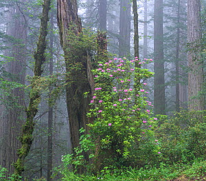 Flowering Rhododendron amongst giant old growth Redwood trees, Redwood National Park, Del Norte, California, USA. May 2017.  -  Jack Dykinga