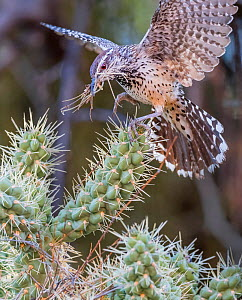 Cactus wren (Campylorhynchus brunneicapillus) carrying nest-building material in its beak for its nest amongst the sharp spines of a Chain cholla cactus (Cylindropuntia fulgida), Sonoran Desert near T...  -  Jack Dykinga