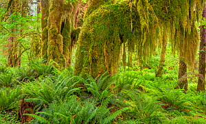 Western sword fern (Polystichum munitum) and Big leaf maple (Acer macrophyllum) trees that are covered with moss, Hoh Temperate Rainforest, Olympic National Park, Washington, USA. June 2017.  -  Jack Dykinga