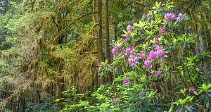 Moss-covered branches and flowering Rhododendron, Jedediah Smith Redwoods State Park, California, USA. June 2017.  -  Jack Dykinga