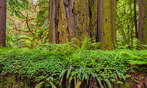 Bracken ferns and Sorrel growing on a felled Redwood tree, Redwood National Park, Prairie Creek, California, USA. June 2017.  -  Jack Dykinga
