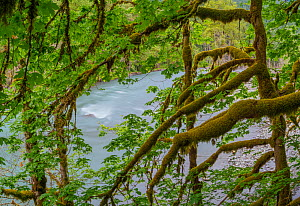 Moss-covered branches of Big leaf maple (Acer macrophyllum) trees with the Elwah River in the background, Olympic National Park, Washington, USA. With the removal of dams, salmon can now migrate up ri...  -  Jack Dykinga
