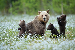 Brown Bear (Ursus arctos) female and cubs playing amongst the cotton grass, Finland, June  -  Danny Green