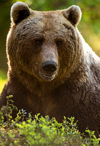 Brown Bear (Ursus arctos) adult portait, Finland, June - Danny Green