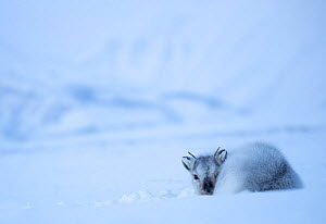 Reindeer (Rangifer tarandus) resting on a snowy ridge, Svalbard, Norway, April - Danny Green