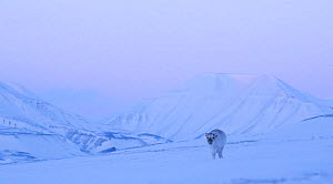 Reindeer (Rangifer tarandus) on a snowy ridge, Svalbard, Norway, April - Danny Green