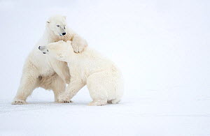 RF - Polar Bears (Ursus maritimus) males fighting, Churchill, Canada, November (This image may be licensed either as rights managed or royalty free.) - Danny Green