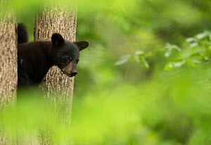 RF - Black bear cub (Ursus americanus) peeping through some trees, Minnesota, USA, June. (This image may be licensed either as rights managed or royalty free.) - Danny Green