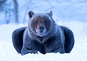 RF - Brown Bear (Ursus arctos) resting  covered in frost, Finland, April. (This image may be licensed either as rights managed or royalty free.) - Danny Green