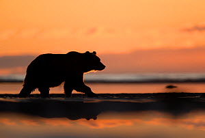 RF - Grizzly Bear (Ursus arctos) at dawn, Lake Clarke National Park, Alaska, September (This image may be licensed either as rights managed or royalty free.) - Danny Green