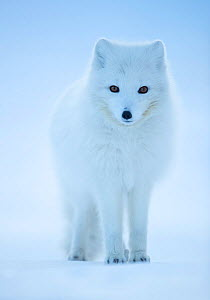 RF - Arctic Fox (Vulpes lagopus) portrait in winter coat, Svalbard, Norway, April. (This image may be licensed either as rights managed or royalty free.) - Danny Green