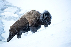 RF - Bison (Bison bison) walking up a ridge in heavy snow, Yellowstone National Park, USA, February (This image may be licensed either as rights managed or royalty free.) - Danny Green