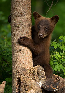RF - Black bear cub (Ursus americanus) climbing a tree, Minnesota, USA, June. (This image may be licensed either as rights managed or royalty free.) - Danny Green