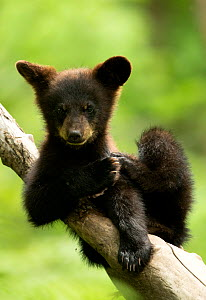 RF - Black bear cub (Ursus americanus) resting in a tree, Minnesota, USA, June. (This image may be licensed either as rights managed or royalty free.) - Danny Green