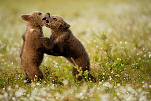 RF - Brown Bear (Ursus arctos) cubs play fighting amongst cotton grass, Finland, June (This image may be licensed either as rights managed or royalty free.) - Danny Green