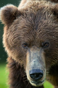 RF - Grizzly Bear (Ursus arctos) head portrait, Lake Clarke National Park, Alaska, September (This image may be licensed either as rights managed or royalty free.) - Danny Green