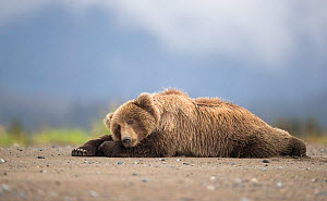 RF - Grizzly bear (Ursus arctos) resting, Lake Clarke National Park, Alaska, September (This image may be licensed either as rights managed or royalty free.) - Danny Green