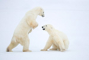 RF - Polar Bear (Ursus maritimus) males fighting, Churchill, Canada, November (This image may be licensed either as rights managed or royalty free.) - Danny Green