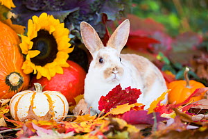 Juvenile Mini rex domestic rabbit amongst autumn leaves, pumpkins, sunflowers and ornamental cabbage, and gourds. East Haven, Connecticut, USA  -  Lynn M. Stone