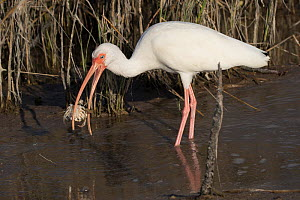 White ibis (Eudocimus albus) in winter plumage, eating Atlantic blue crab (Callinectes sapidus), at edge of saltwater lagoon. St. Petersburg, Florida, USA  -  Lynn M. Stone