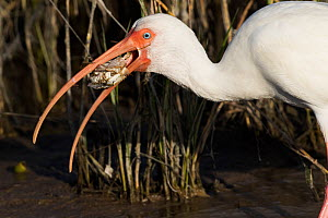 White ibis (Eudocimus albus) in winter plumage, eating Atlantic blue crab (Callinectes sapidus), at edge of saltwater lagoon. St. Petersburg, Florida, USA (non-ex)  -  Lynn M. Stone