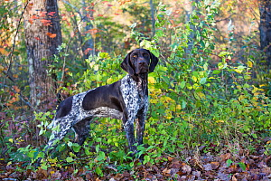 Female German shorthaired pointer standing at edge of woodland. Canterbury, Connecticut, USA - Lynn M. Stone