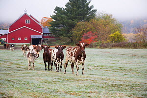 Herd of Ayrshire cows in a frosty field, October. Newbury, Vermont, USA (non-ex)  -  Lynn M. Stone