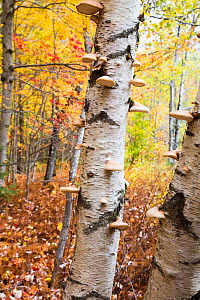 Paper birch tree (Betula papyrifera) trunk covered in Birch polypore bracket fungi (Piptoporus betulinus) October. Green Mountain National Forest, Vermont, USA  -  Lynn M. Stone