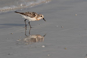 Semipalmated sandpiper (Calidris pusilla) in winter plumage, foraging on shore. Indian Rocks Beach, Florida, Gulf of Mexico, USA - Lynn M. Stone