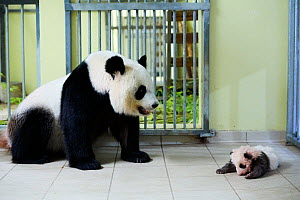 Giant panda (Ailuropoda melanoleuca) female Huan Huan, looking at her baby, age two month, returned to her by keeper, Beauval Zoo, France, October 2017. - Eric Baccega