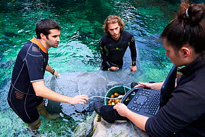 Veterinarian and two keepers performing an ultrasound scan on a pregnant Florida manatee female (Trichechus manatus latirostrus), Beauval Zoo, France, October 2017. - Eric Baccega