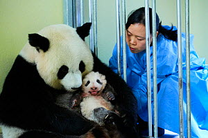 Keeper feeding Giant panda (Ailuropoda melanoleuca) female Huan Huan, whilst removing baby, age two months, for check up. Beauval Zoo, France, October 2017. - Eric Baccega