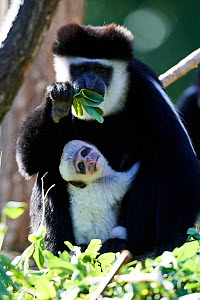 Black and white colobus monkey (Colobus guereza) holding white infant, aged 1 month, in tree, captive, Zoo Parc Beauval, France. - Eric Baccega