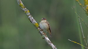 Sedge warbler (Acrocephalus schoenobaenus) singing. Scotland, UK, July. - David Perpinan