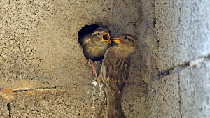 Rock sparrow (Petronia petronia) feeding chick outside nest, Spain, June.  -  David Perpinan