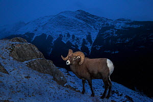 Rocky mountain bighorn sheep (Ovis canadensis) ram standing on a rocky hillside at dusk, Jasper National Park, Alberta, Canada. December.  -  Connor Stefanison