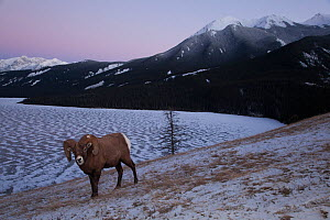 Rocky mountain bighorn sheep (Ovis canadensis) ram stands on a lakeside hill just after sunset in Jasper National Park, Alberta, Canada, December. - Connor Stefanison