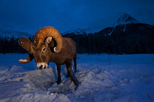 Rocky mountain bighorn sheep (Ovis canadensis) ram digging through the snow at dusk, Jasper National Park, Alberta, Canada. December. - Connor Stefanison
