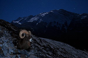 Rocky mountain bighorn sheep (Ovis canadensis) ram lying down to rest for night,  Jasper National Park, Alberta, Canada. December.  -  Connor Stefanison
