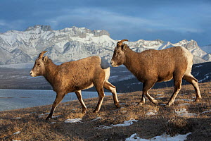 Two young Rocky mountain bighorn sheep (Ovis canadensis) walking along a lakeside hill in Jasper National Park, Alberta, Canada. December. - Connor Stefanison