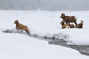 Rocky mountain bighorn sheep (Ovis canadensis) lamb leaping across a stream, as the rest of the herd watches, Jasper National Park, Alberta, Canada. December.  -  Connor Stefanison