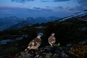 Two White-tailed ptarmigan (Lagopus leucura) perched on a rock at dusk, Hope, British Columbia, Canada.  July.  -  Connor Stefanison