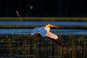 American white pelican (Pelecanus erythrorhynchos) flying over  marsh near breeding ground, Stum Lake, British Columbia, Canada. June. - Connor Stefanison