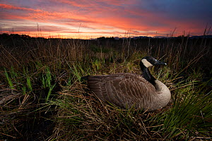 Canada goose (Branta canadensis) nesting on the shores of Burnaby Lake at sunset, Burnaby, British Columbia, Canada. April.  -  Connor Stefanison