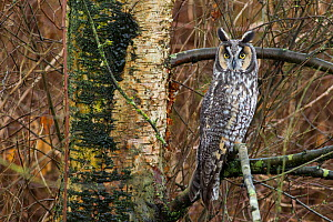 Long-eared owl (Asio otus) perched on branch, Delta, British Columbia, Canada. February.  -  Connor Stefanison