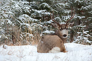 Mule deer (Odocoileus hemionus) buck in snow near Jasper, Jasper National Park, Alberta, Canada. December. - Connor Stefanison