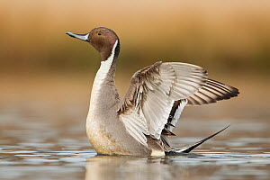 Northern pintail (Anas acuta) drake stretching its wings on a small pond,  Ladner, British Columbia, Canada.  -  Connor Stefanison