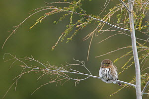 Northern pygmy owl (Glaucidium gnoma) perched on branch, Cypress Mountain, West Vancouver, British Columbia, Canada. December.  -  Connor Stefanison