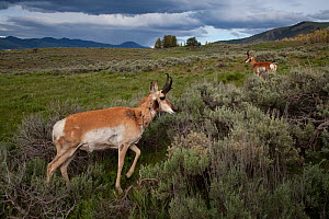 Pronghorn (Antilocapra americana) bucks on grassland, Yellowstone National Park, Wyoming, USA. June. - Connor Stefanison